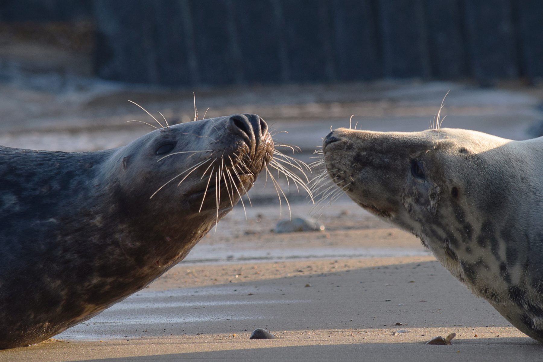 Love Norfolk Seals
