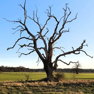 A beautiful but lifeless tree #norfolkcountryside #norfolkcoast #norfolklife ##treelife #northnorfolk #norfolkhotels #norfolkglamping
